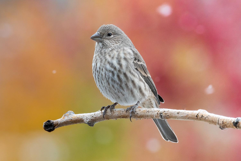 October Finch by Rick Wieseler