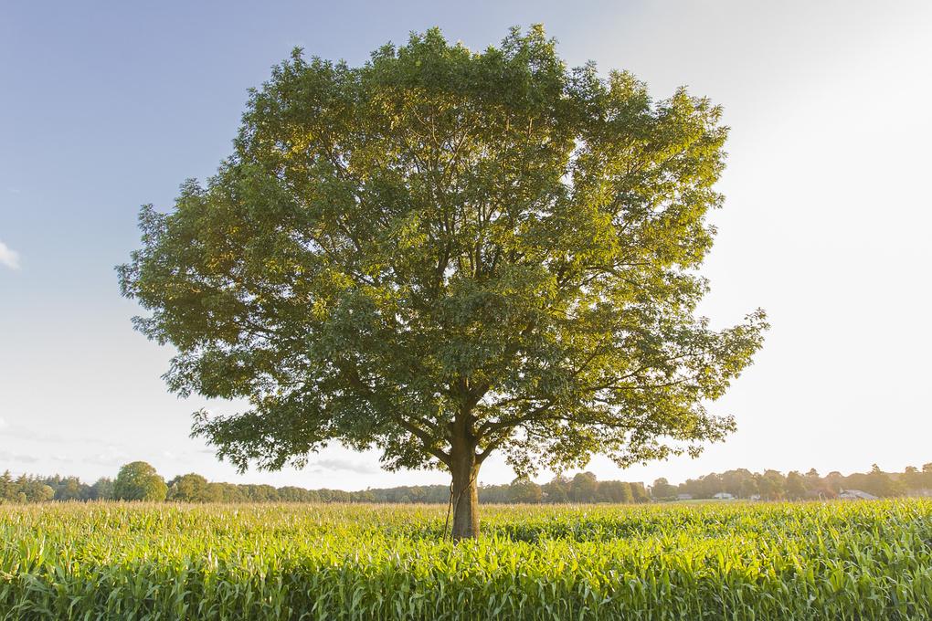 Cornfields with a single tree by Niek Braam