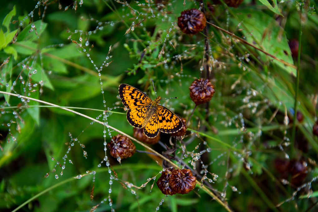 Butterfly and Dew by Nelson Jewell