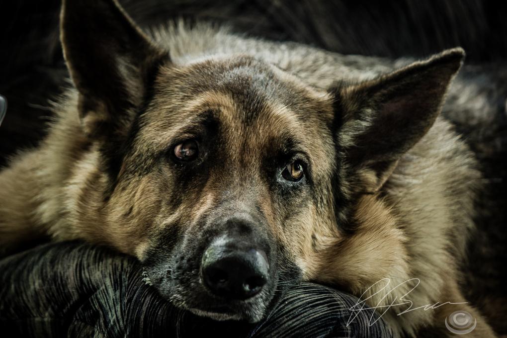 German Shepherd by Patrice Brien