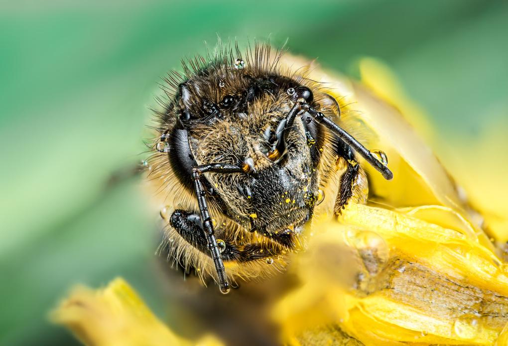 Honeybee by Marco Gressler