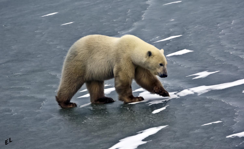 Ice Bear by EL PIC