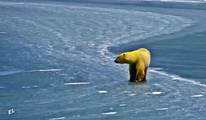 Polar Bear Stalking by EL PIC