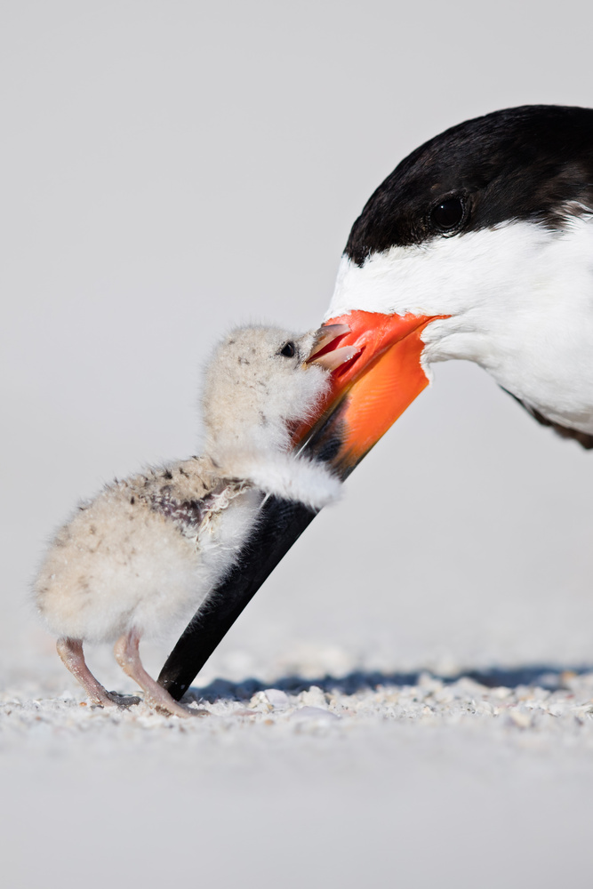 Black Skimmer & Chick  by Thomas C