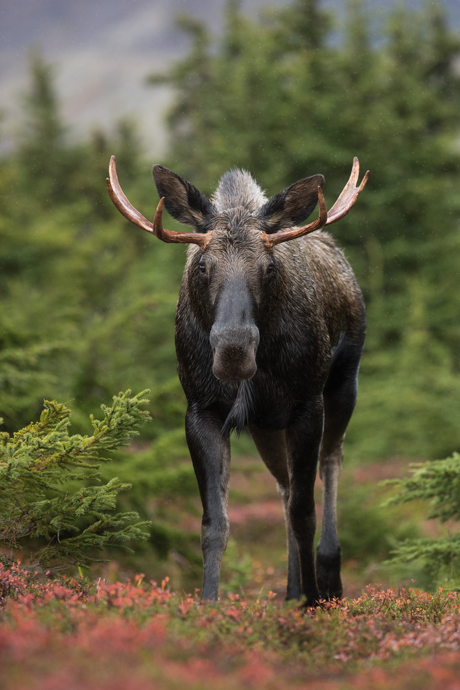 Bull Moose by Thomas C