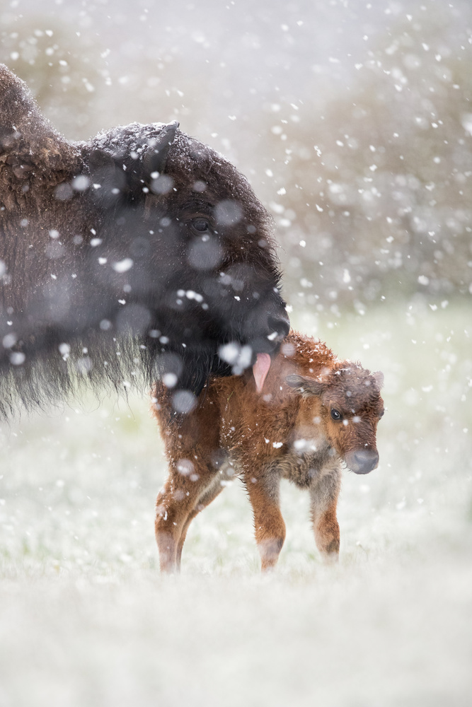Bison & Calf  by Thomas C