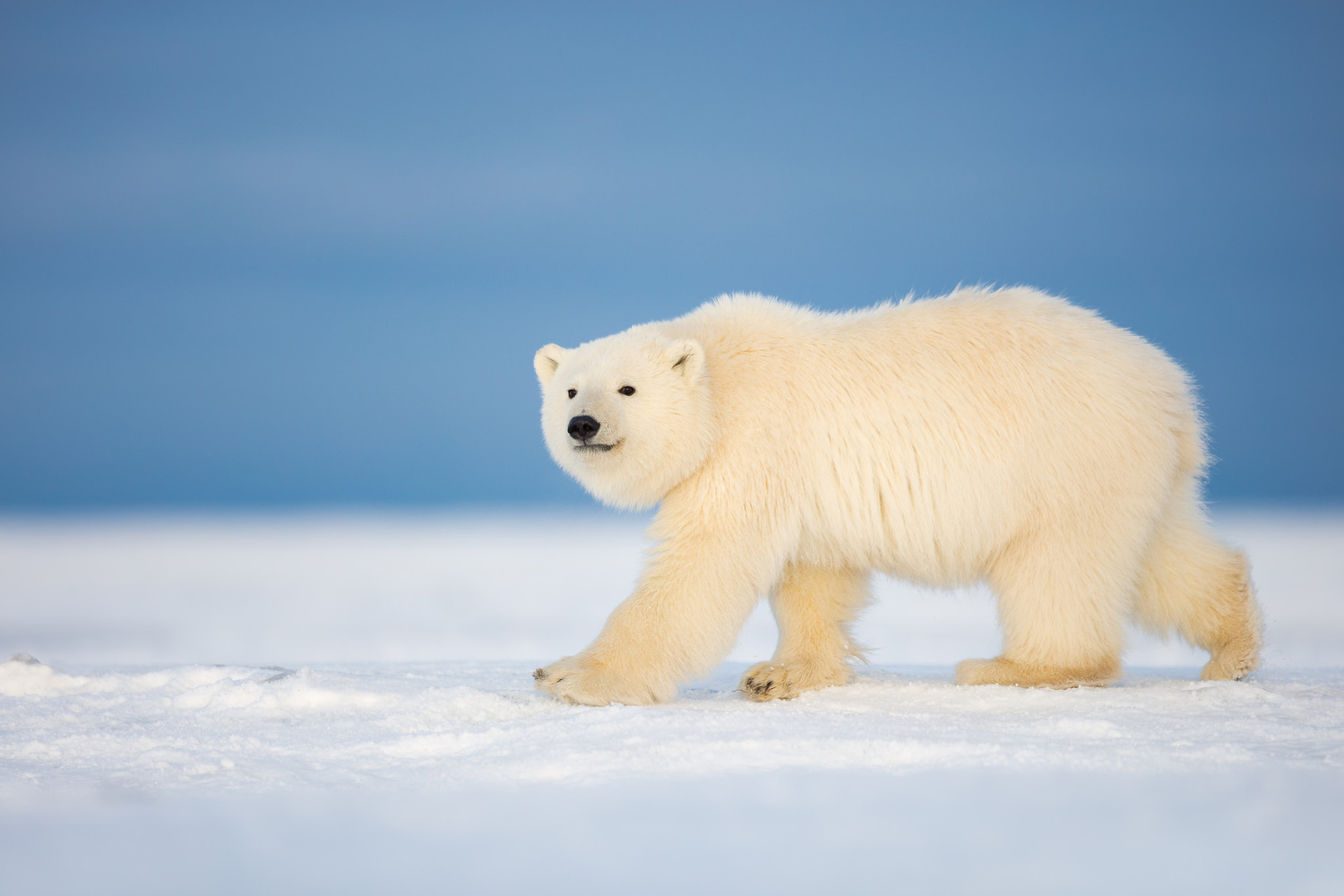 Polar Bear Cub by Thomas C