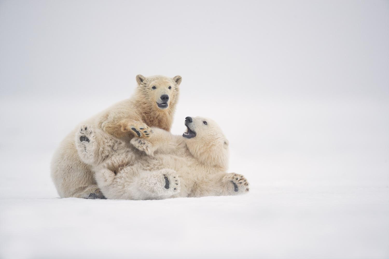 Polar Bear Cubs by Thomas C