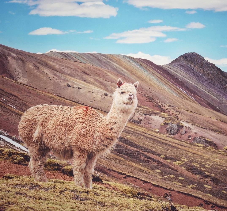 lost alpaca by Pedro Pulido