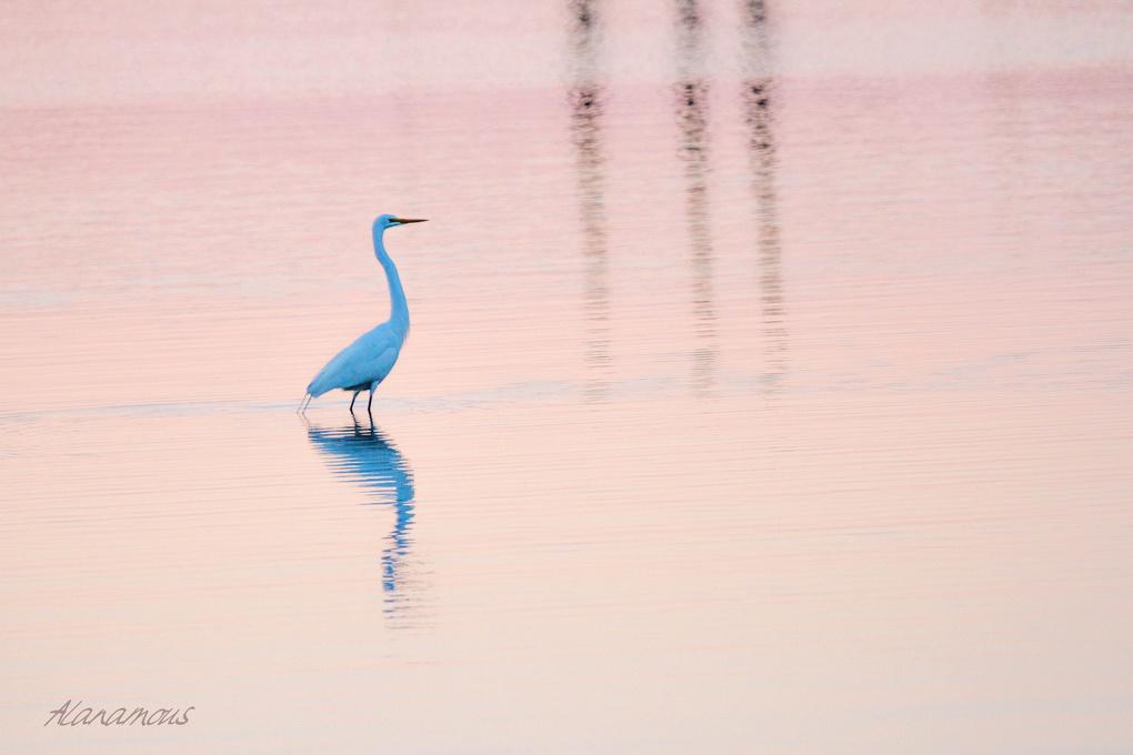 Pastel Egret by Alanamou S