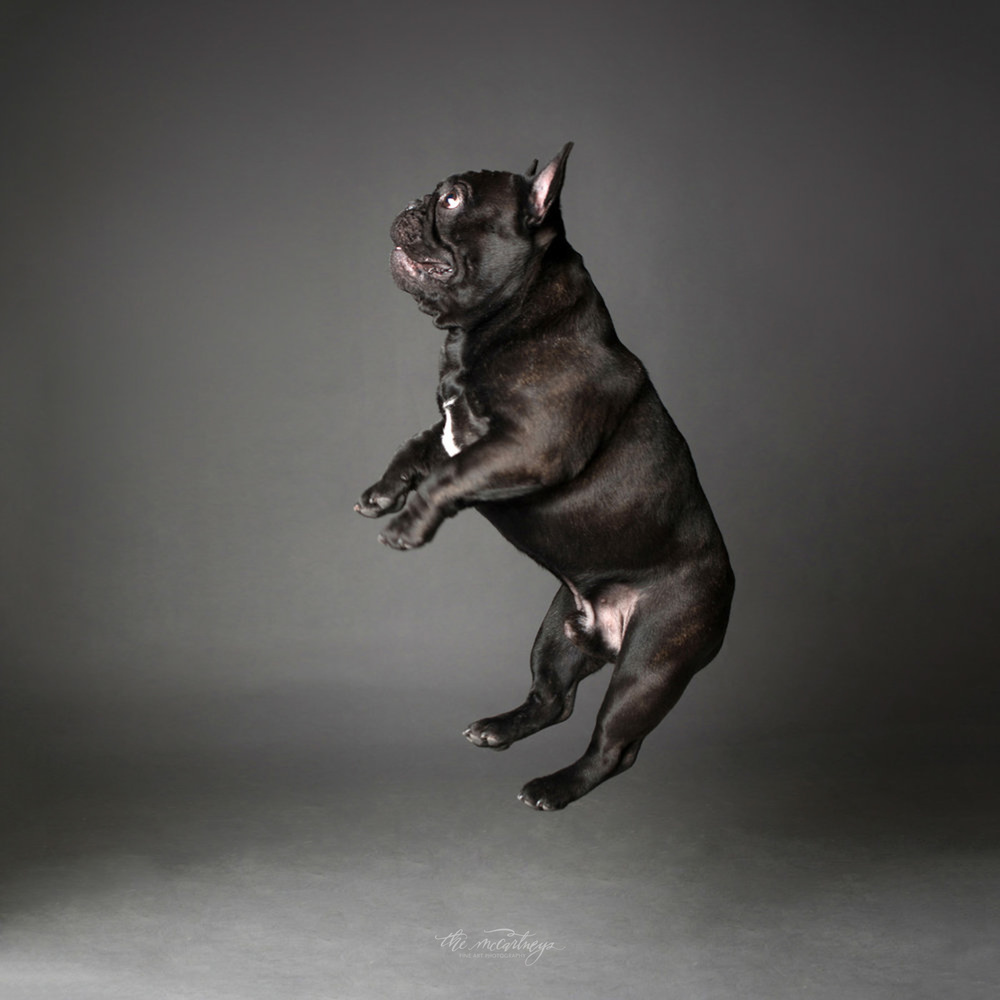 Frenchie in flight by Butch McCartney