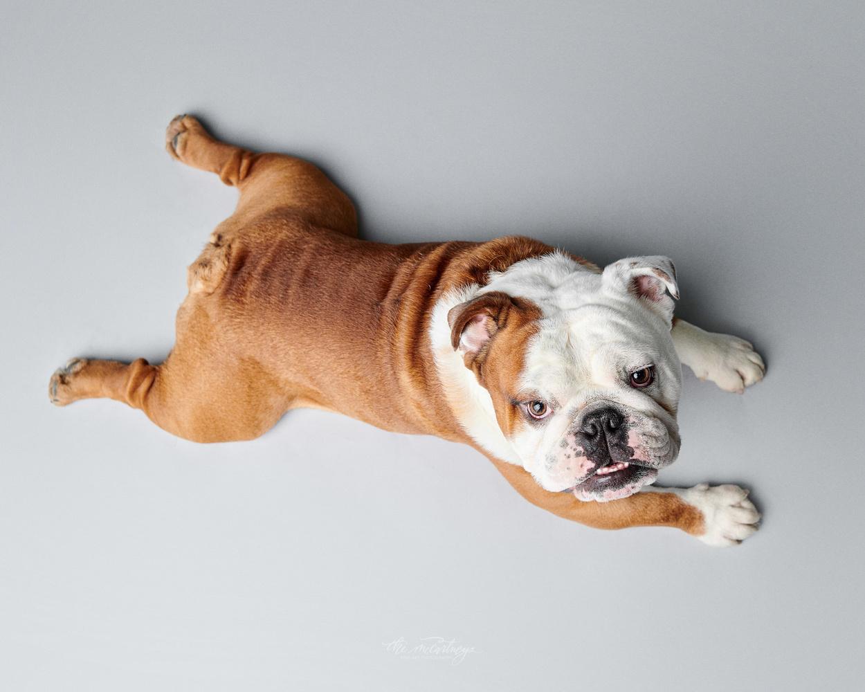 Bulldog frog pose by Butch McCartney