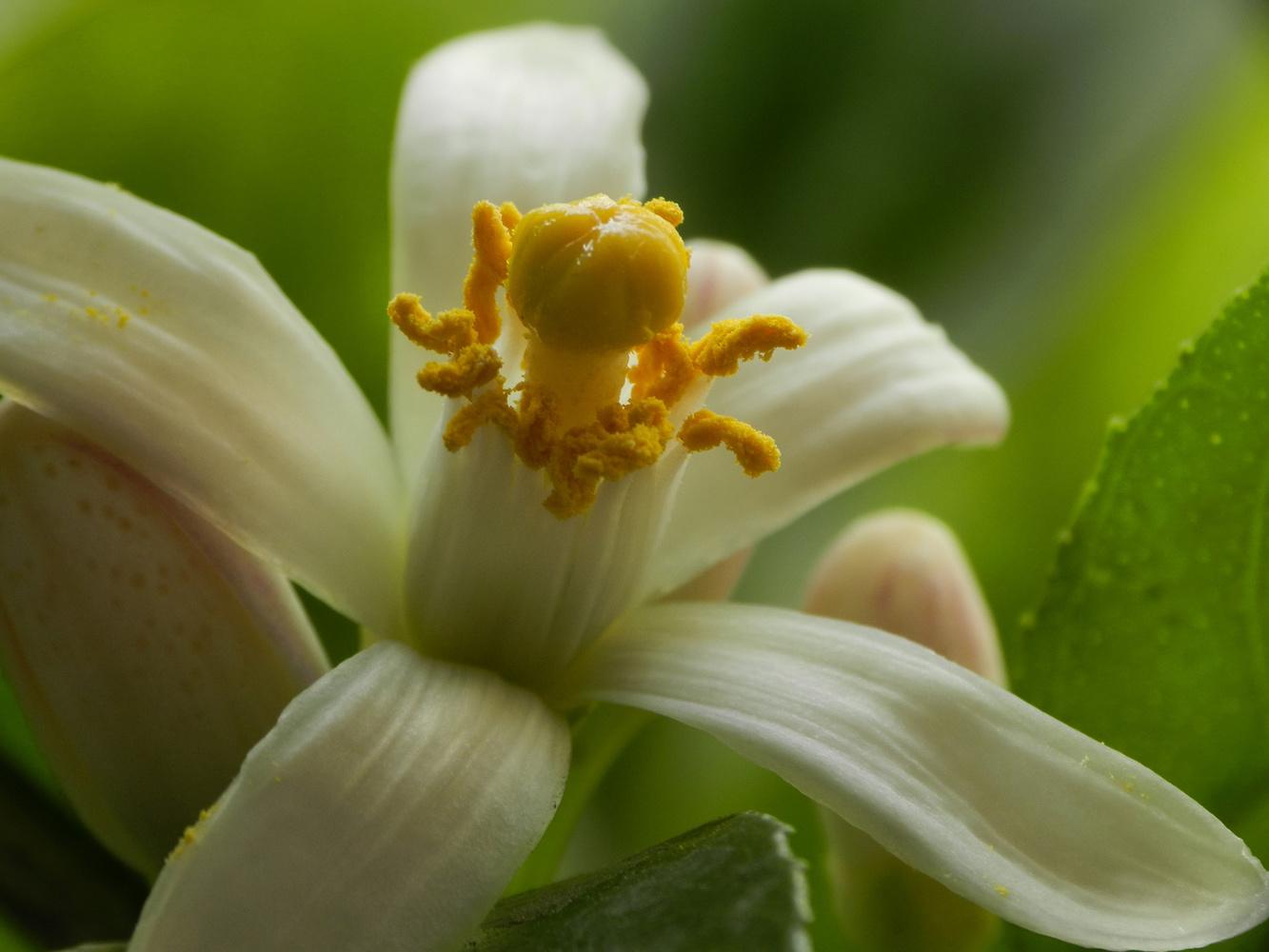 Lemon Blossom by hammad ahmed