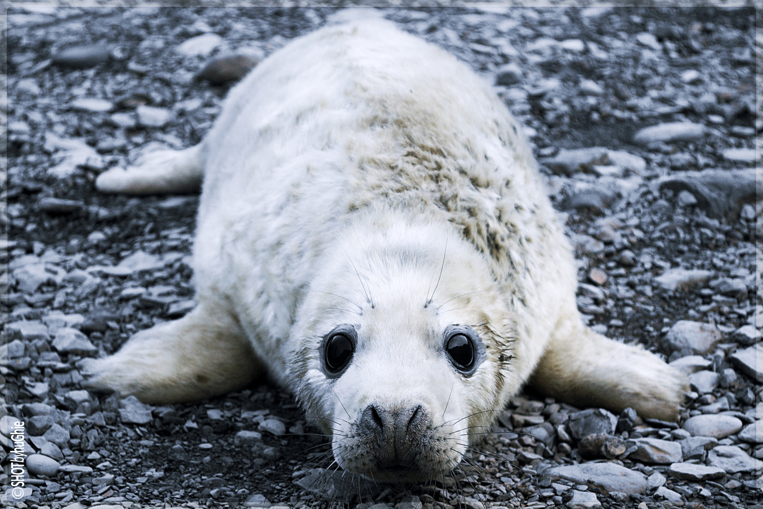 Seal Pup by Chris 'stAn' Hargrave