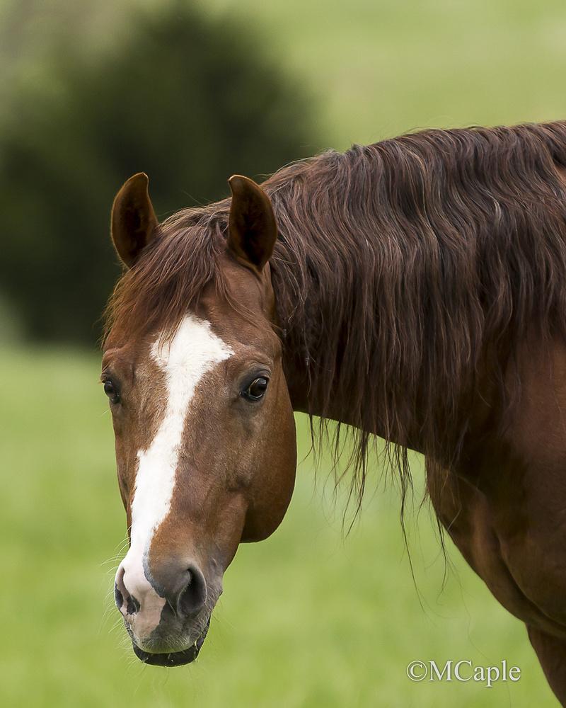 Stallion Portrait shot by Mike Caple