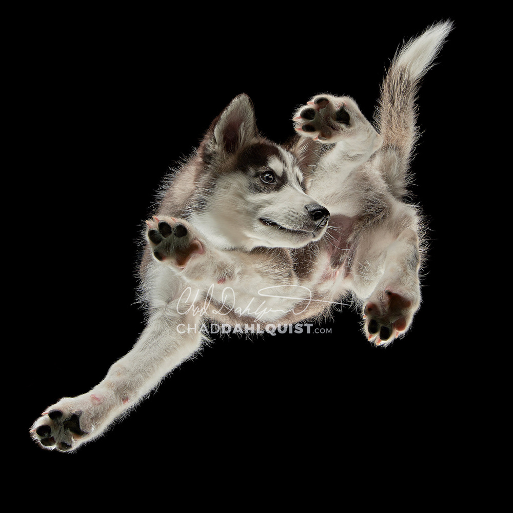 husky pup on glass by Chad D