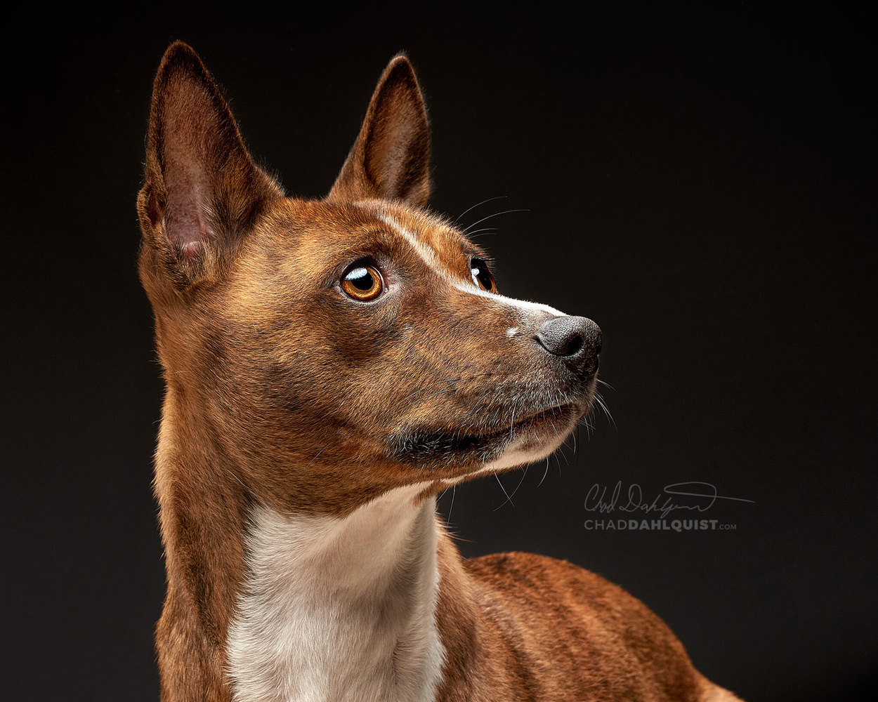 headshots for dogs !  by Chad D