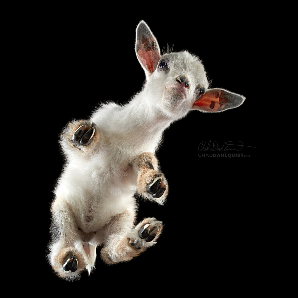 Baby goat on glass :)  by Chad D
