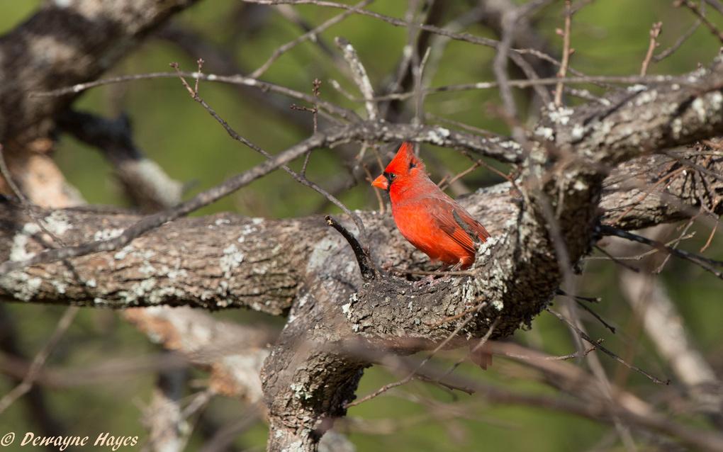 Cardinal by Dewayne Hayes