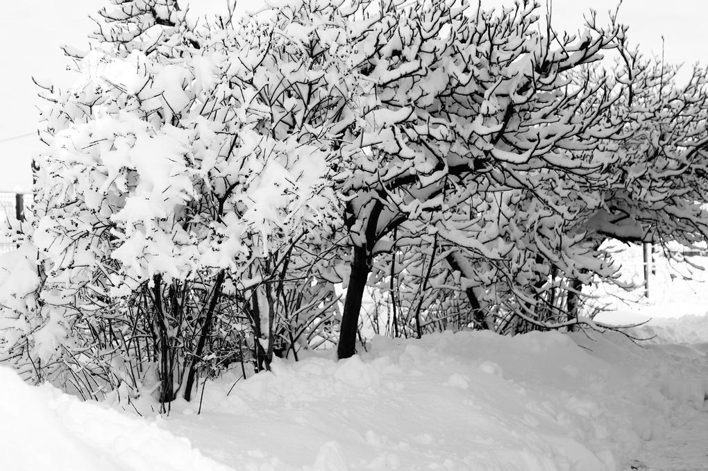 Tree bough under the snow by vladimir b.