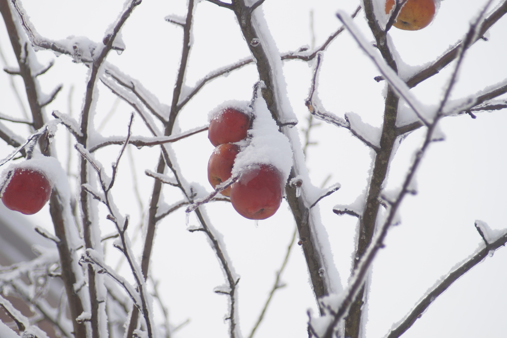 Apples on the tree under the snow and ice by vladimir b.