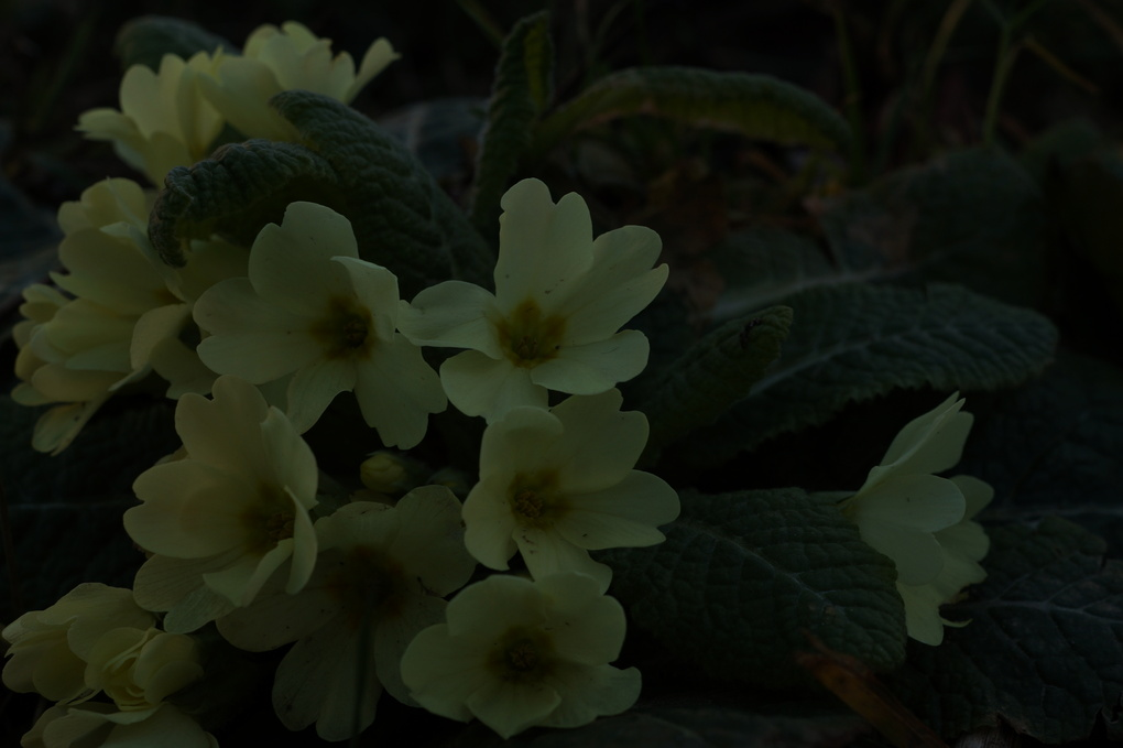 Primrose-flowers by vladimir b.
