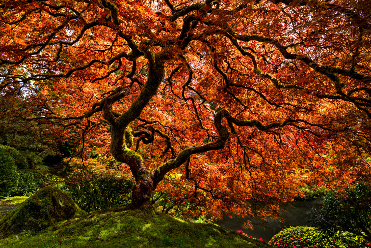 The Tranquil Maple by Chris Ward
