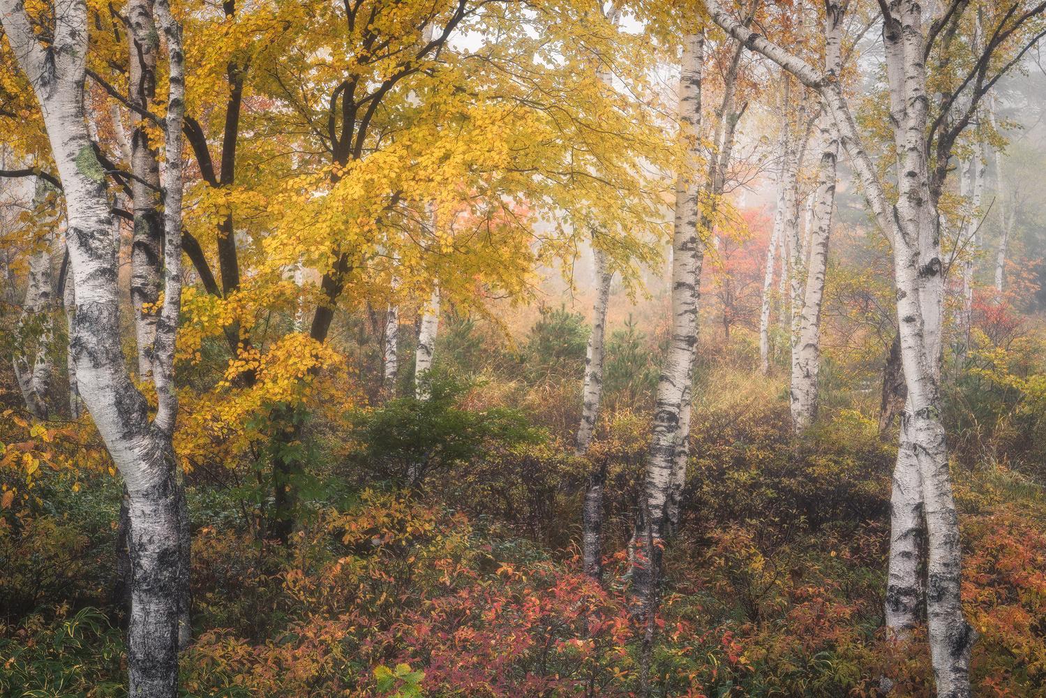 Autumn leaves and white birch by Shumon Saito