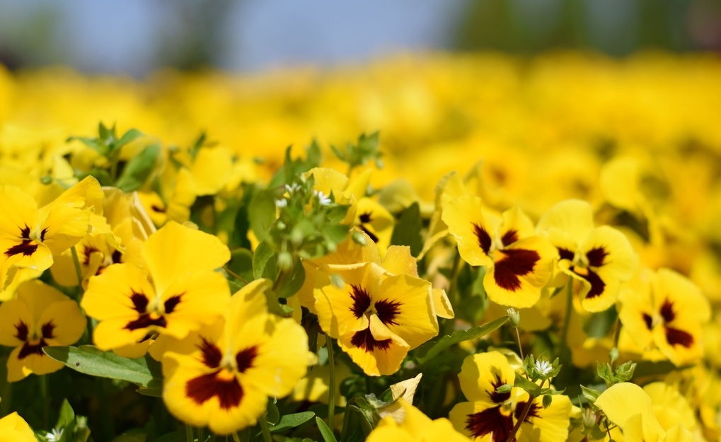 Yellow Violets by Vahid N