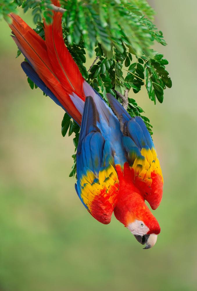 Scarlet Macaw by Toni Tsay