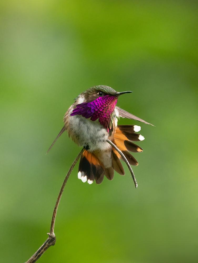 Wine Throated Hummingbird by Toni Tsay