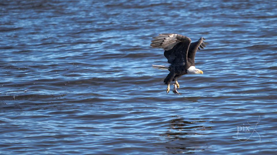 Bald Eagle, one talon catch by Laura Mullen