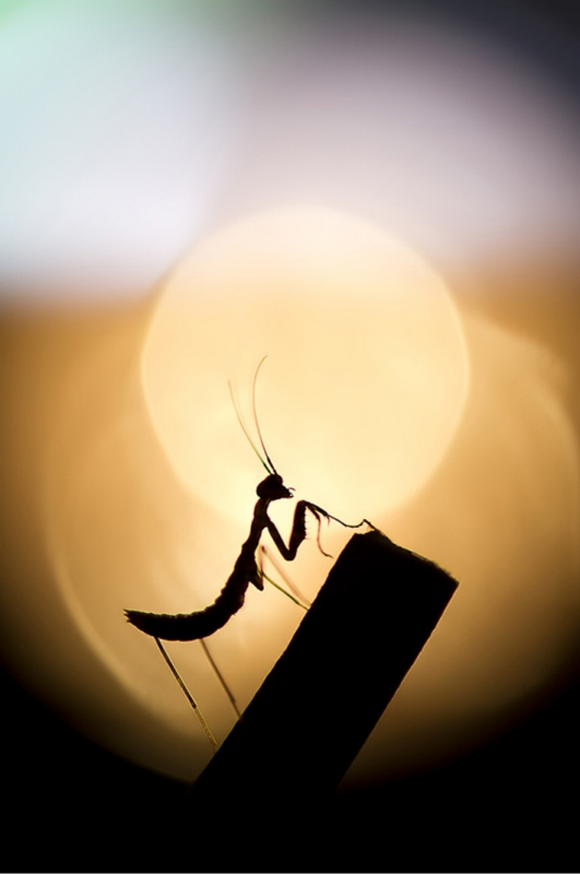 Praying Mantis, No Digital Editing