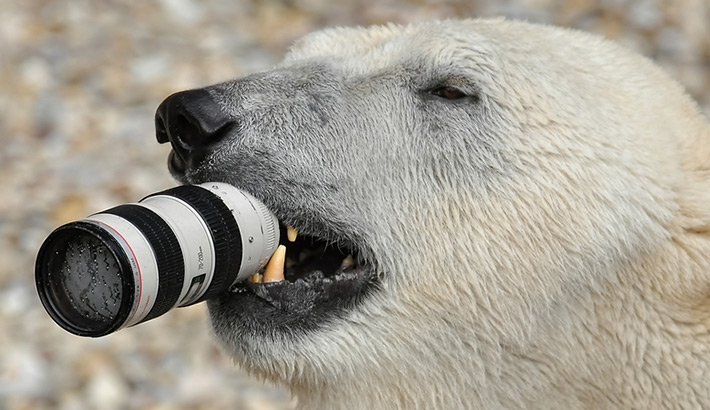 Unbearable! Photographer Drops Canon 70-200mm Lens Into Polar Bear Tank