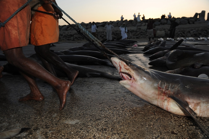 Painful Images of Shark Trading in the Arabian Sea