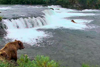 Watch Live Video of Bears Fishing for Salmon