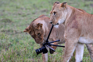 Lions Eat Photographer's Camera in Kenyan National Park