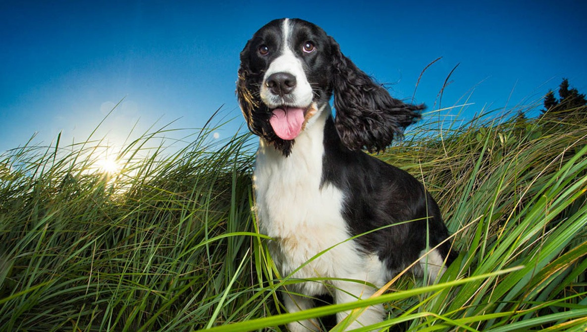 springer spaniel sitting in long grass