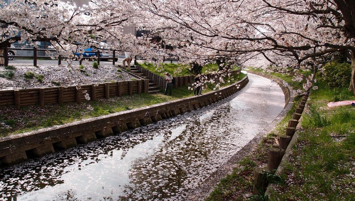 Cherry Blossom Peak in D.C. Delayed