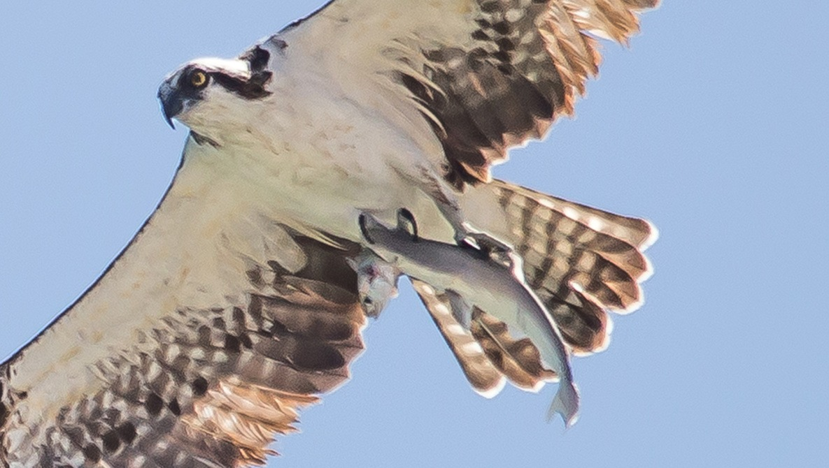 Bird photographed carrying a shark that is carrying a fi
