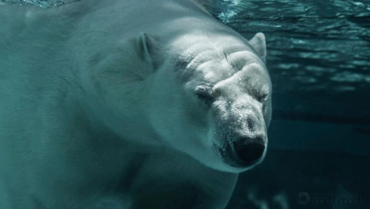 Photographer Has Standoff With Polar Bear While on Shoot