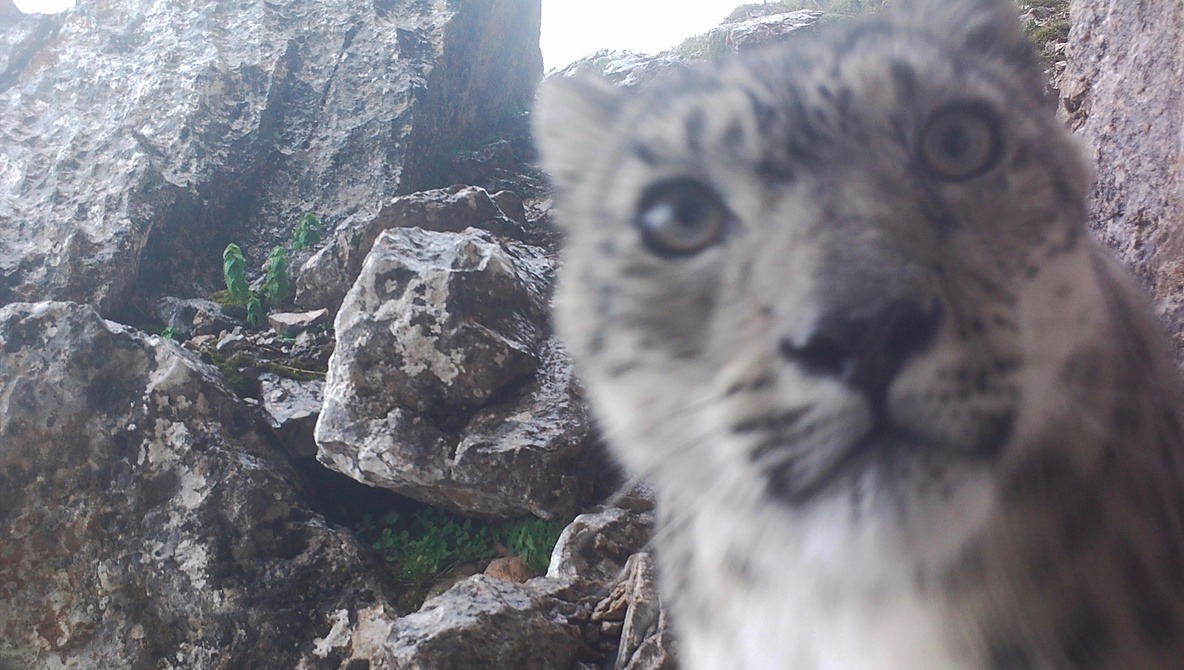 Elusive Snow Leopard Shoots Purrfect Selfies