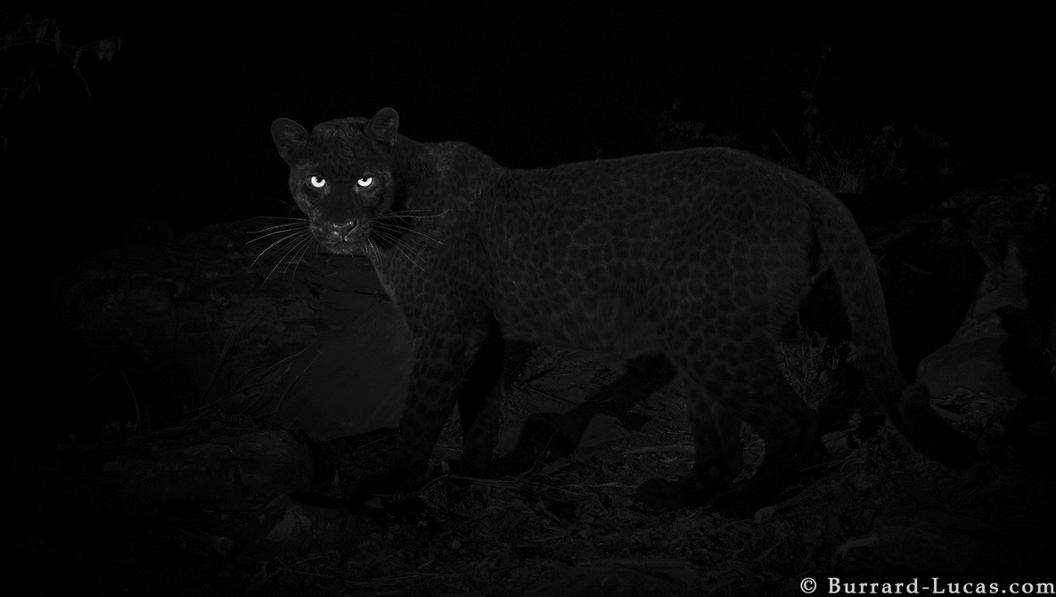Rare Leopard Captured by Photographer in Kenya