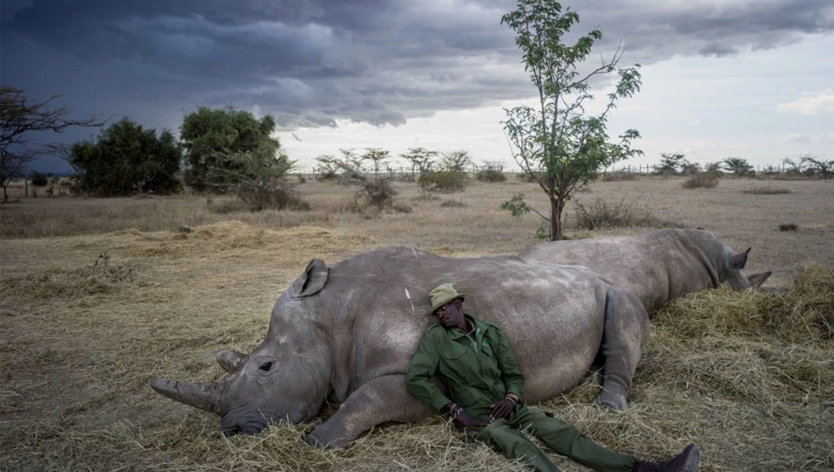 Before Their Extinction, See The Last Two Northern White Rhinos on Earth