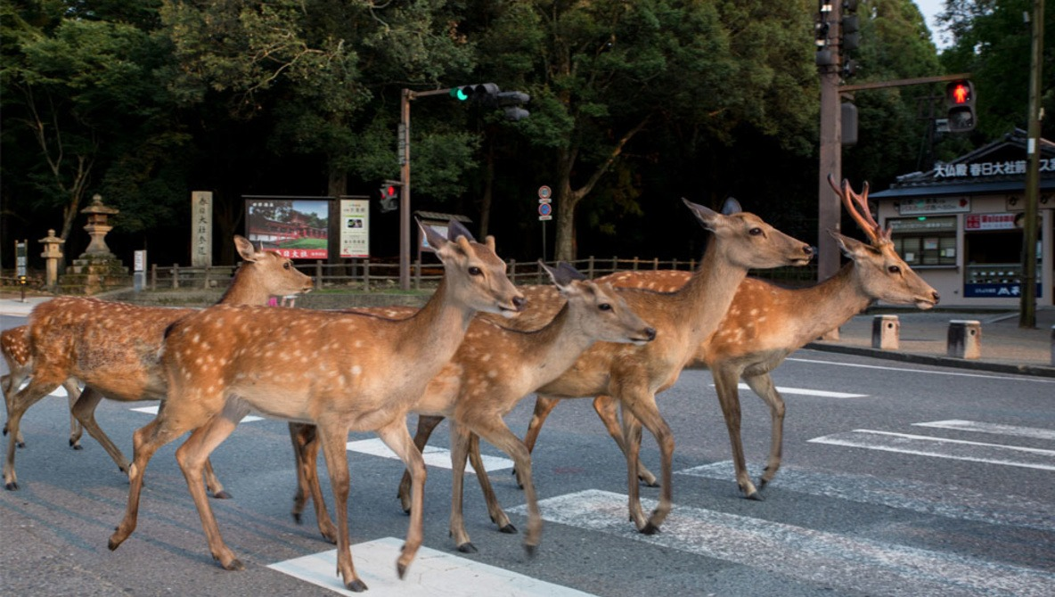 There's a Japanese City Where Deer Roam The Streets Freely