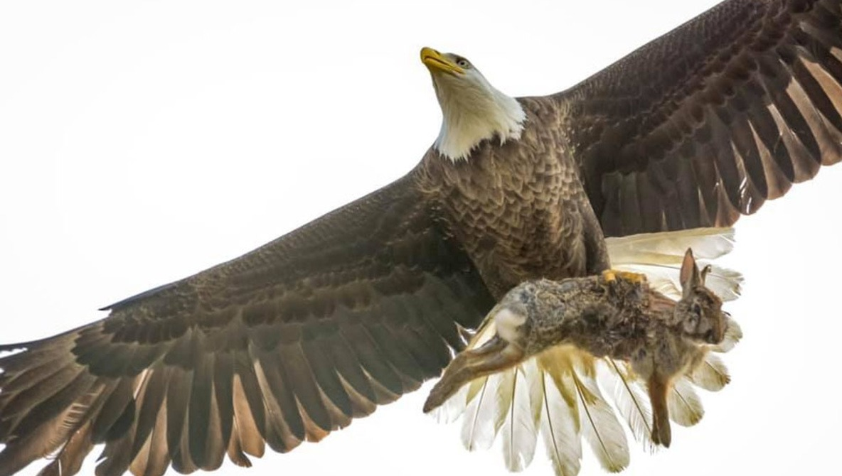 Amateur Photographer Captures Intense Mid-Air Battle Between Eagle and Rabbit