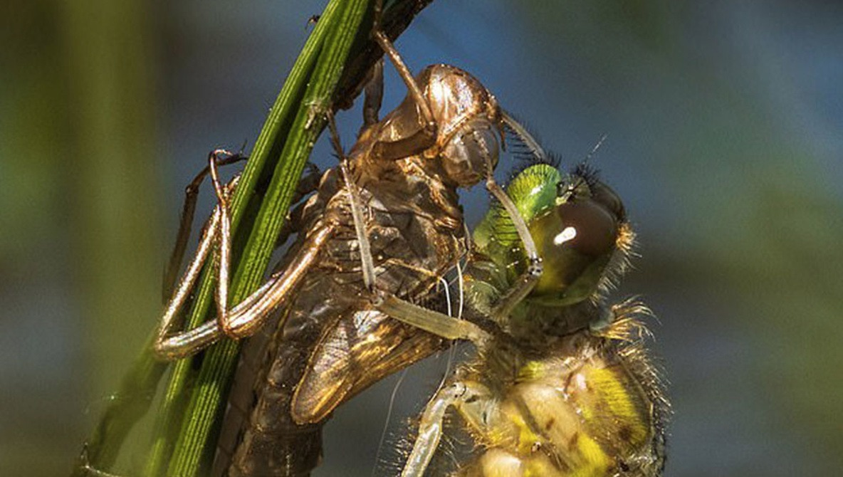 Photographer Laid in Bog for Three Hours to Capture Dragonfly Shedding Its Skin