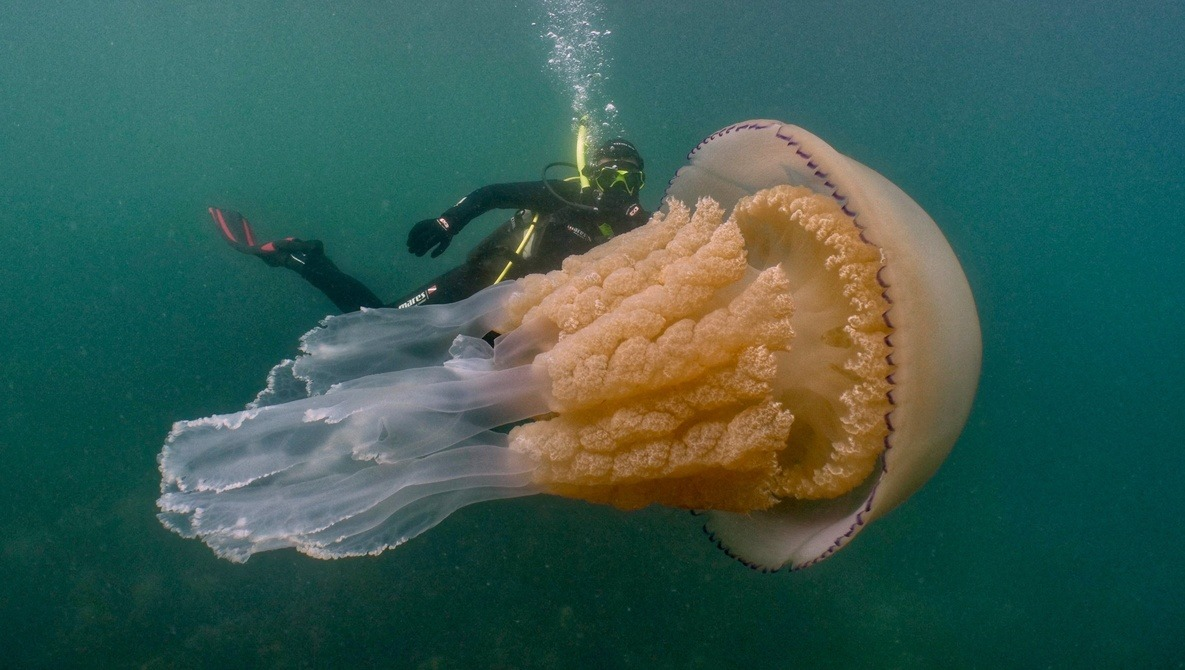 Underwater Photographer Encounters Incredible Human-Sized Jellyfish