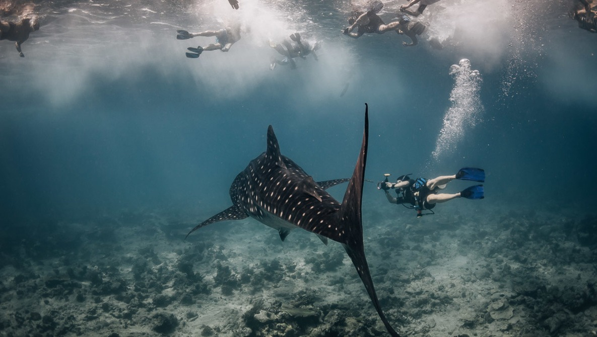 Photographing Whale Sharks