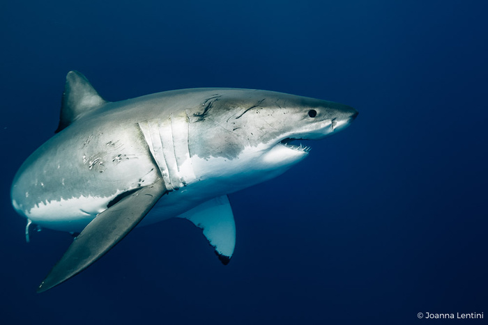 Nine Tips for Photographing Great White Sharks
